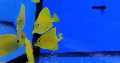 Nuovo arrivo Zebrasoma Flavescens